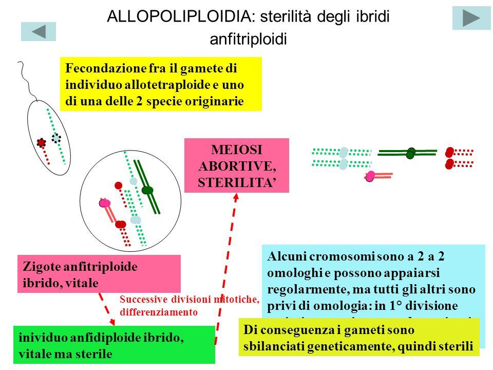 ALLOPOLIPLOIDIA: sterilità degli ibridi anfitriploidi