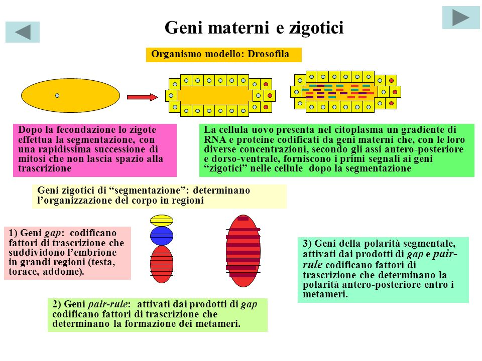 Geni materni e zigotici