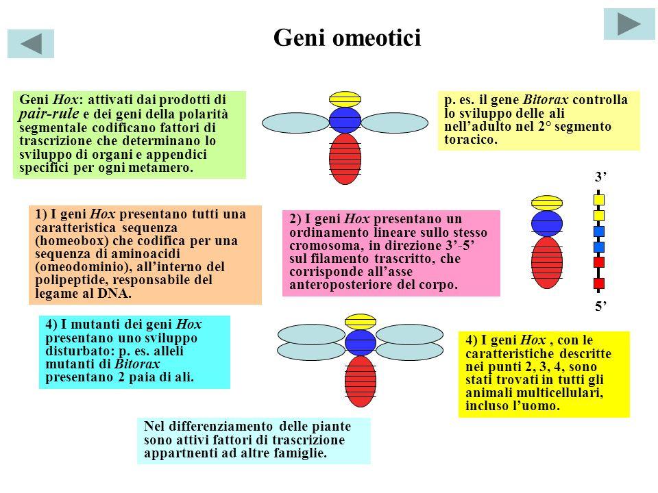 Geni omeotici