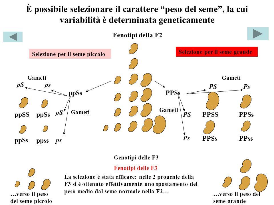 È possibile selezionare il carattere peso del seme , la cui variabilità è determinata geneticamente
