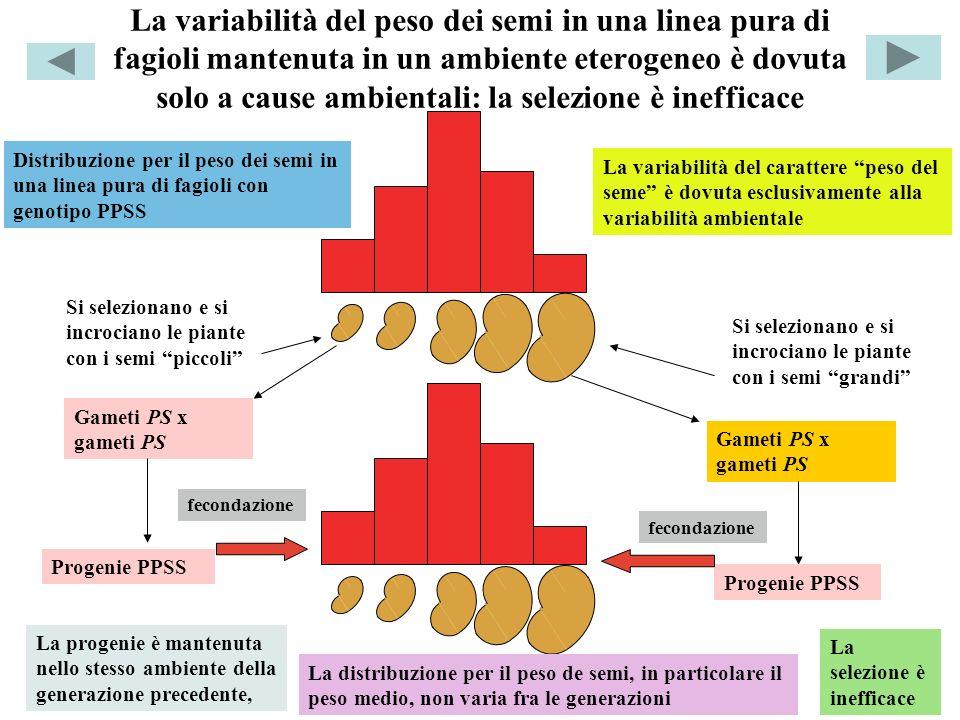 La variabilità del peso dei semi in una linea pura di fagioli mantenuta in un ambiente eterogeneo è dovuta solo a cause ambientali: la selezione è inefficace