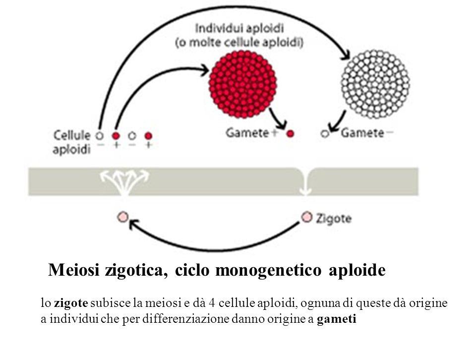 Meiosi zigotica, ciclo monogenetico aploide