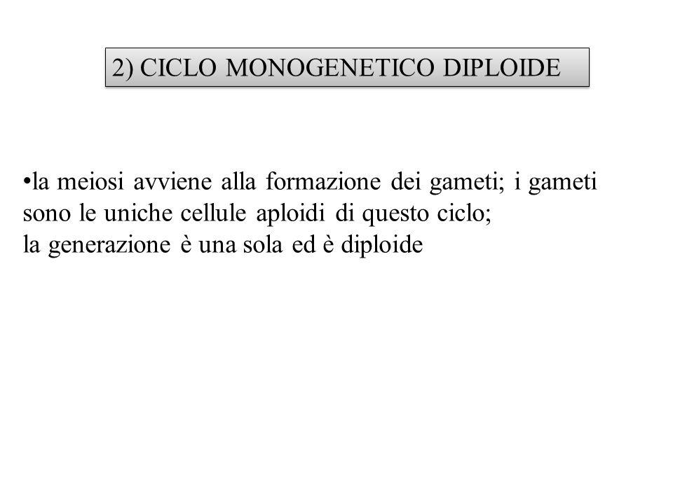2) CICLO MONOGENETICO DIPLOIDE