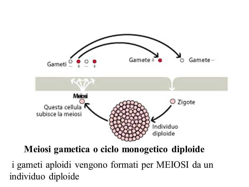 Meiosi gametica o ciclo monogetico diploide