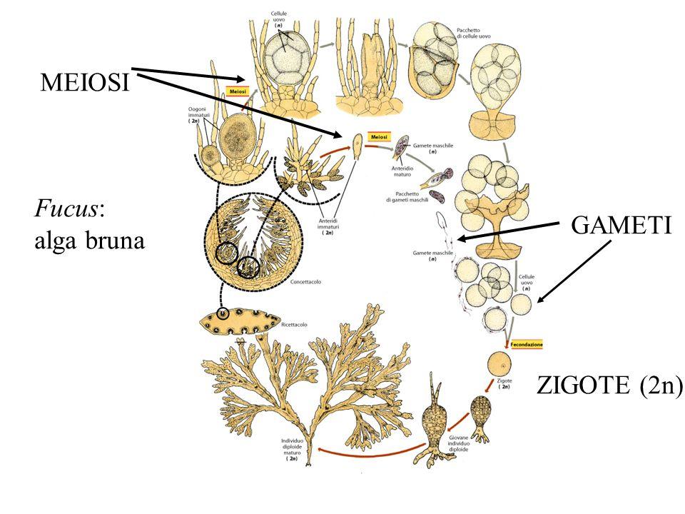 MEIOSI Fucus: alga bruna GAMETI ZIGOTE (2n)