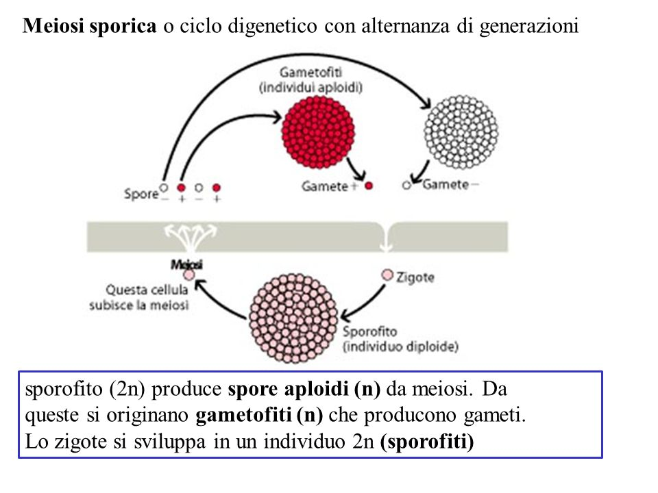 Meiosi sporica o ciclo digenetico con alternanza di generazioni