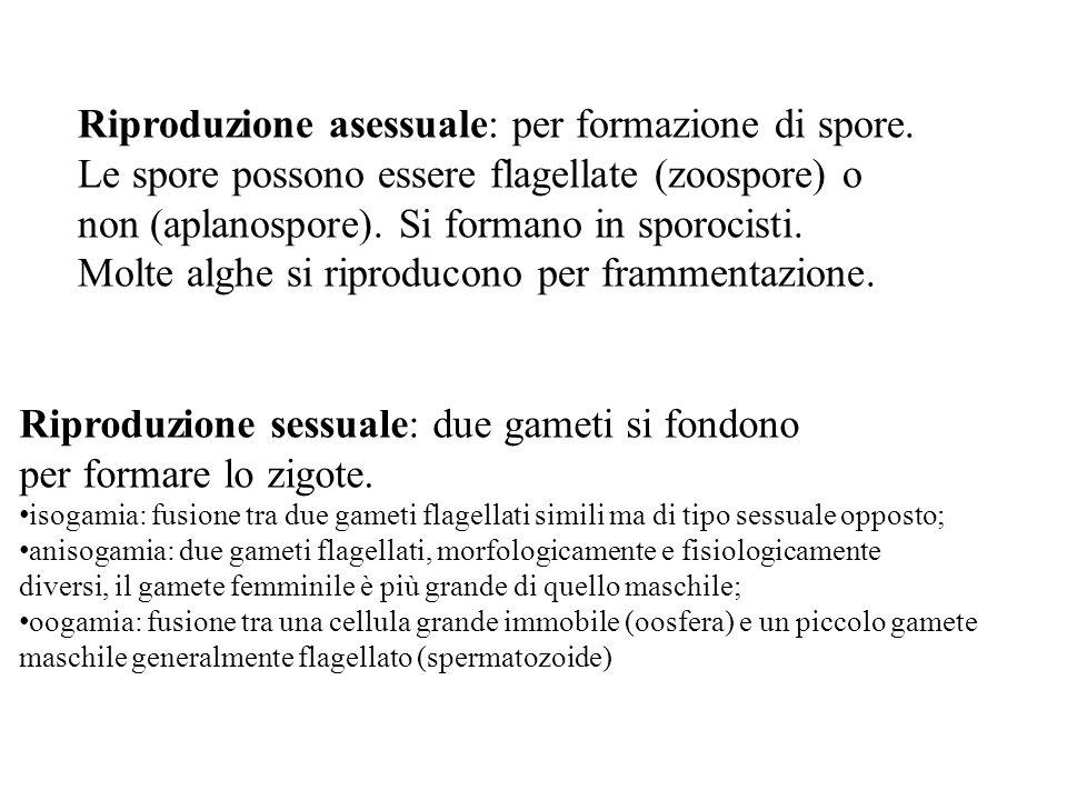 Riproduzione asessuale: per formazione di spore.