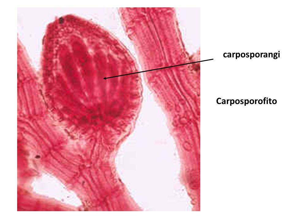 carposporangi Carposporofito