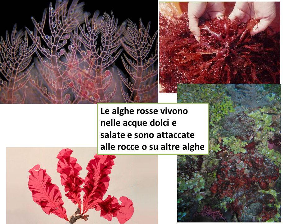 Le alghe rosse vivono nelle acque dolci e salate e sono attaccate alle rocce o su altre alghe
