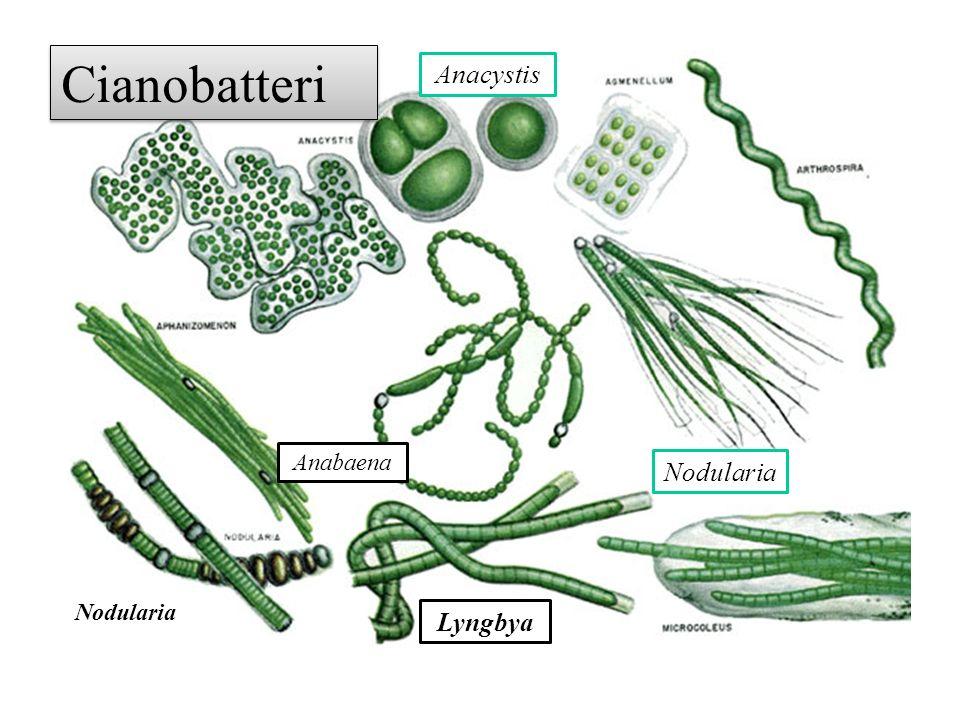 Cianobatteri Anacystis Anabaena Nodularia Nodularia Lyngbya