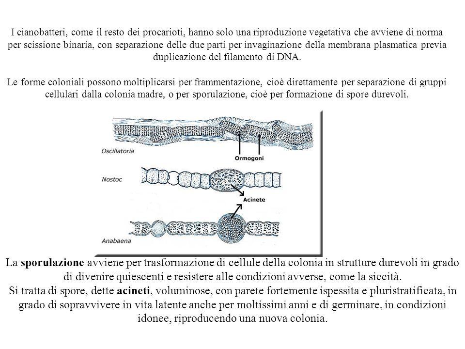 I cianobatteri, come il resto dei procarioti, hanno solo una riproduzione vegetativa che avviene di norma per scissione binaria, con separazione delle due parti per invaginazione della membrana plasmatica previa duplicazione del filamento di DNA. Le forme coloniali possono moltiplicarsi per frammentazione, cioè direttamente per separazione di gruppi cellulari dalla colonia madre, o per sporulazione, cioè per formazione di spore durevoli.