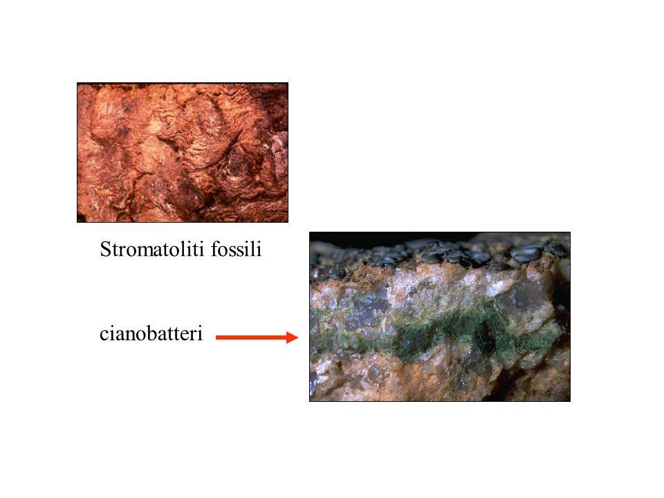 Stromatoliti fossili cianobatteri