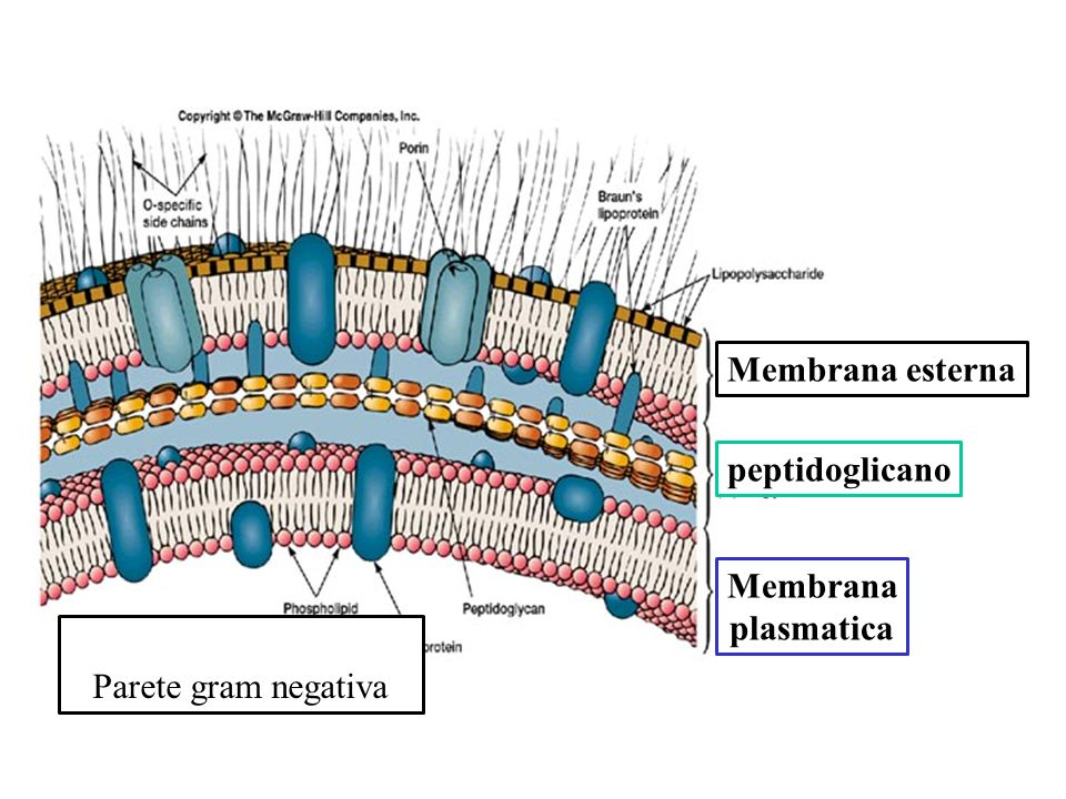 Membrana esterna peptidoglicano Membrana plasmatica Parete gram negativa