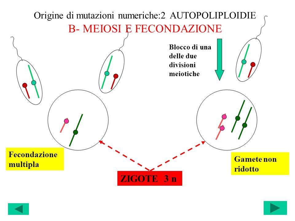 Origine di mutazioni numeriche:2 AUTOPOLIPLOIDIE B- MEIOSI E FECONDAZIONE