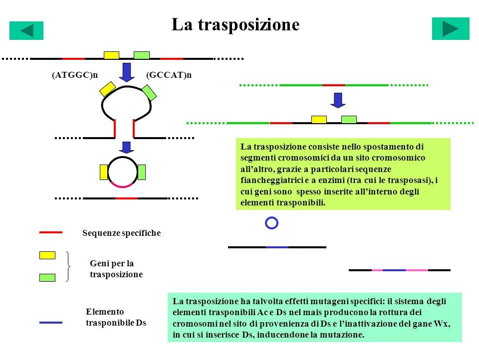 La trasposizione (ATGGC)n (GCCAT)n