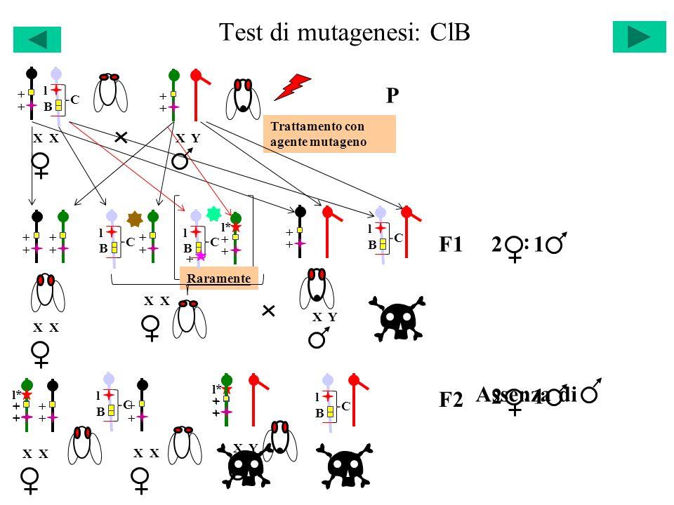 Test di mutagenesi: ClB