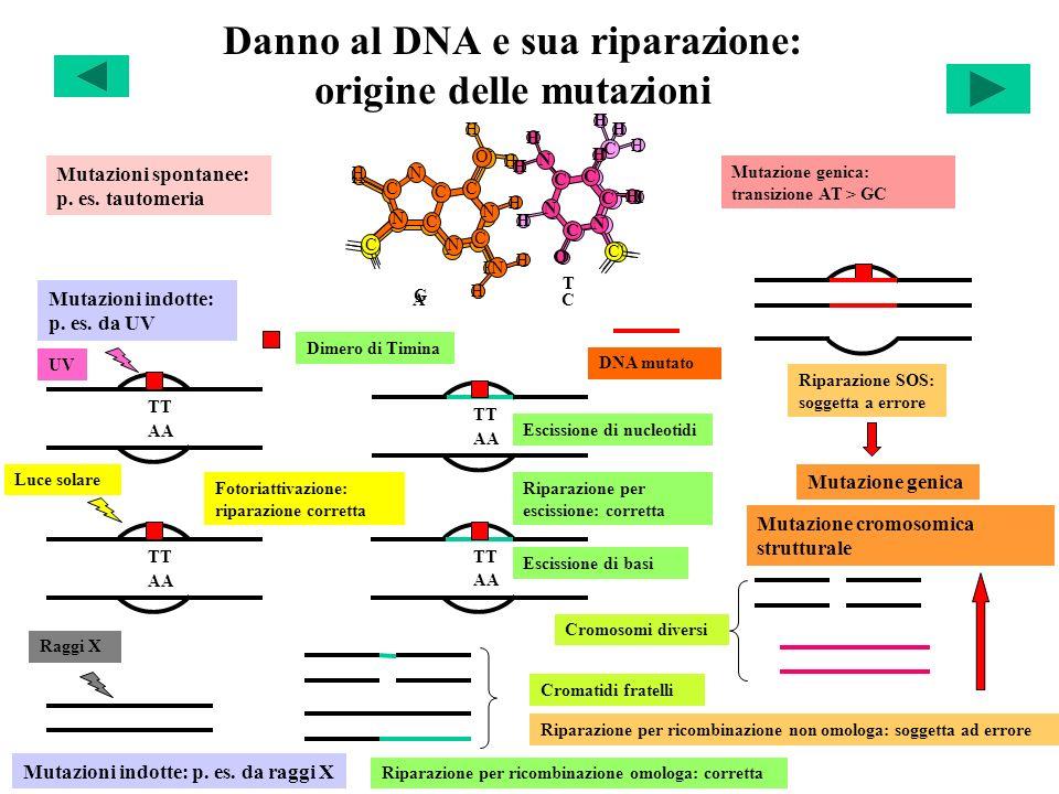 Danno al DNA e sua riparazione: origine delle mutazioni