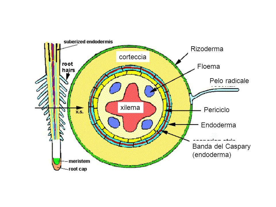 Rizoderma corteccia Floema Pelo radicale xilema Periciclo Endoderma Banda del Caspary (endoderma)