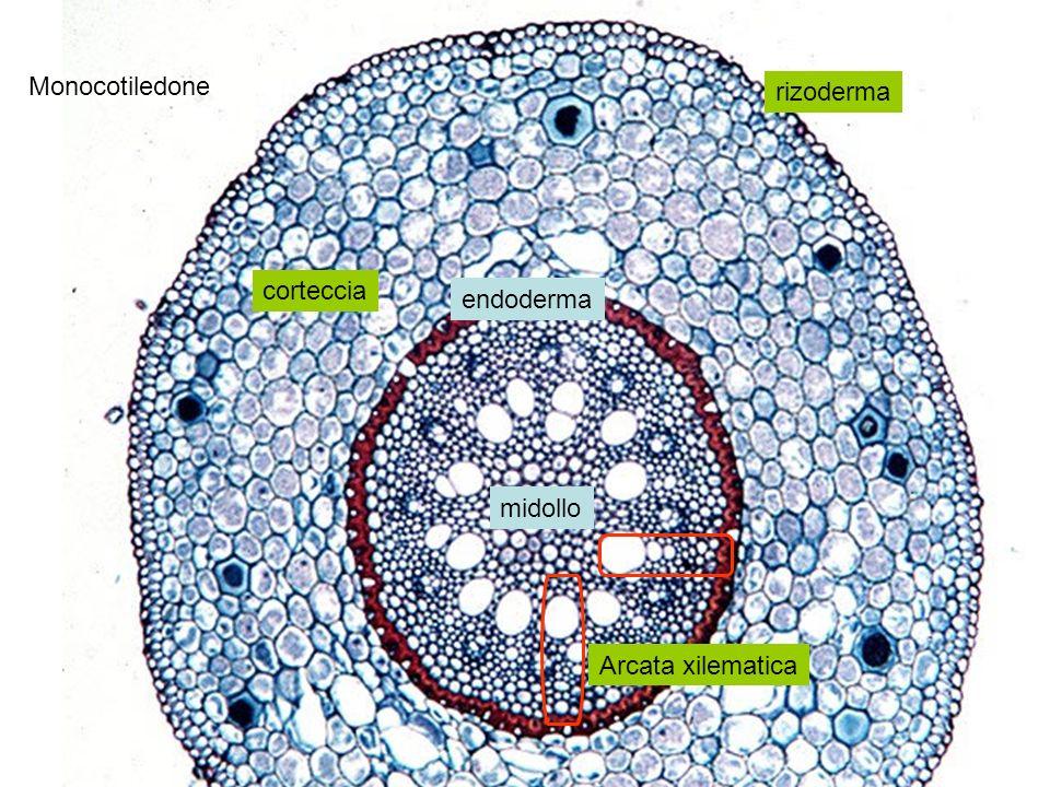 Monocotiledone rizoderma corteccia endoderma midollo Arcata xilematica