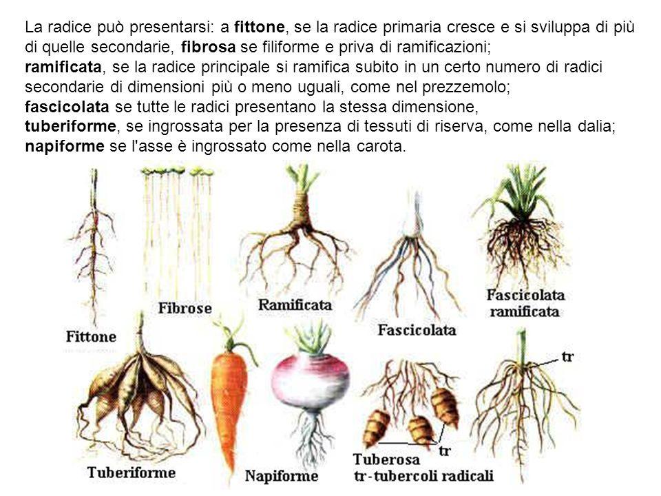 La radice può presentarsi: a fittone, se la radice primaria cresce e si sviluppa di più