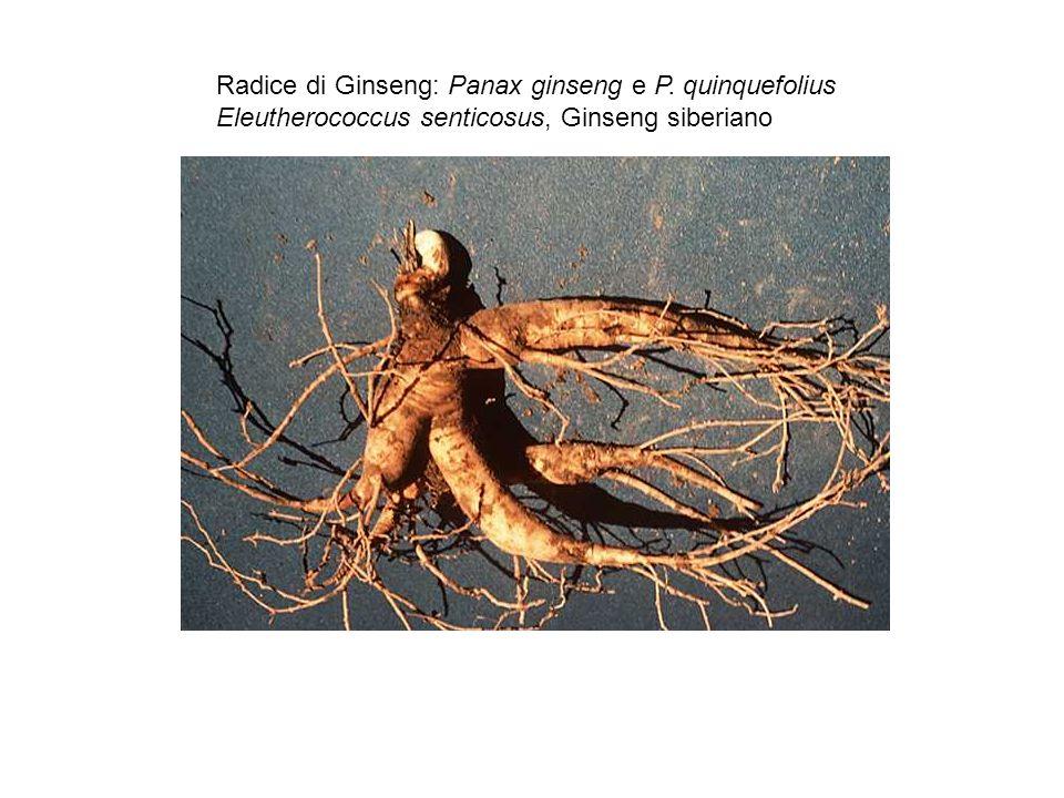 Radice di Ginseng: Panax ginseng e P. quinquefolius