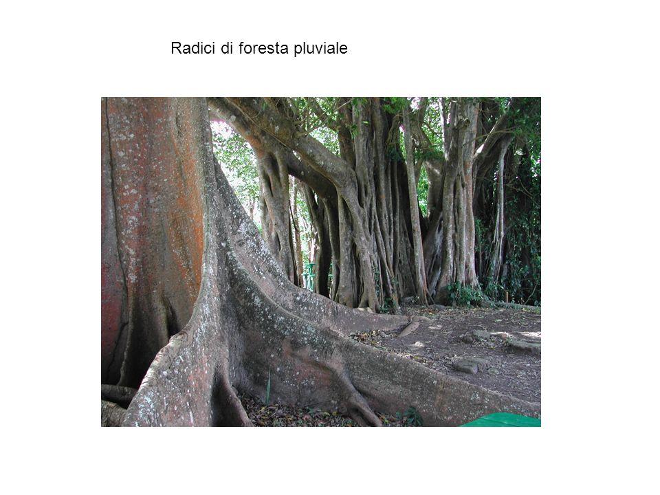 Radici di foresta pluviale