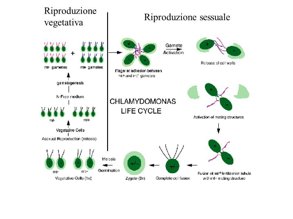 Riproduzione vegetativa Riproduzione sessuale