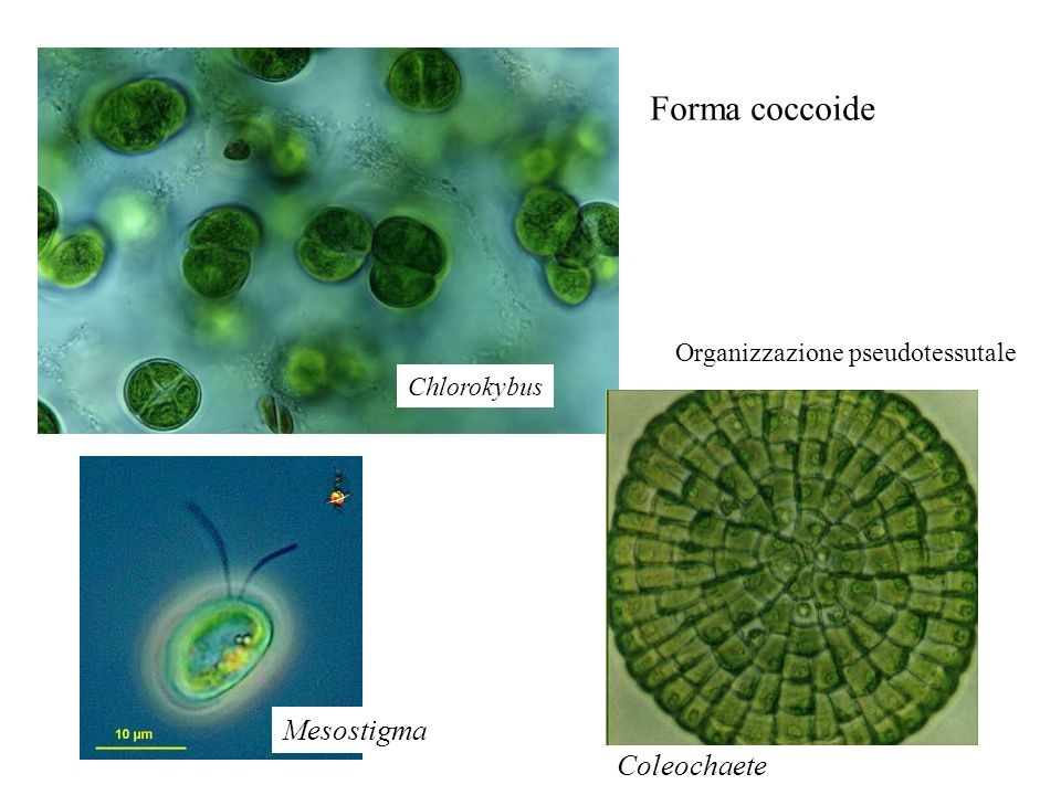 Forma coccoide Mesostigma Coleochaete Organizzazione pseudotessutale