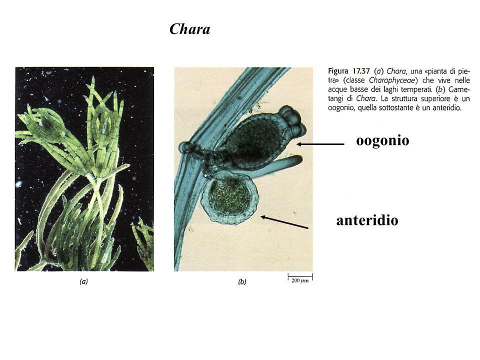 Chara oogonio anteridio