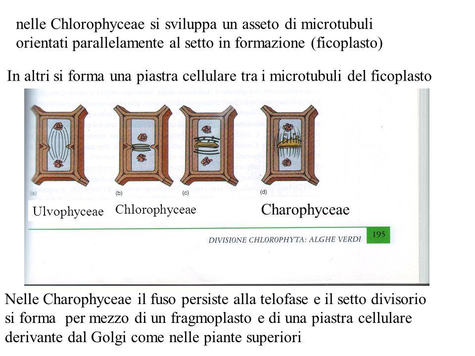nelle Chlorophyceae si sviluppa un asseto di microtubuli