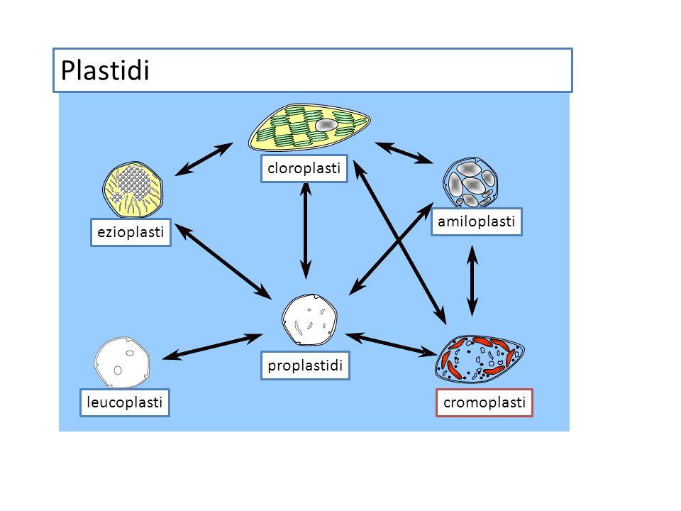 Plastidi cloroplasti amiloplasti ezioplasti proplastidi leucoplasti