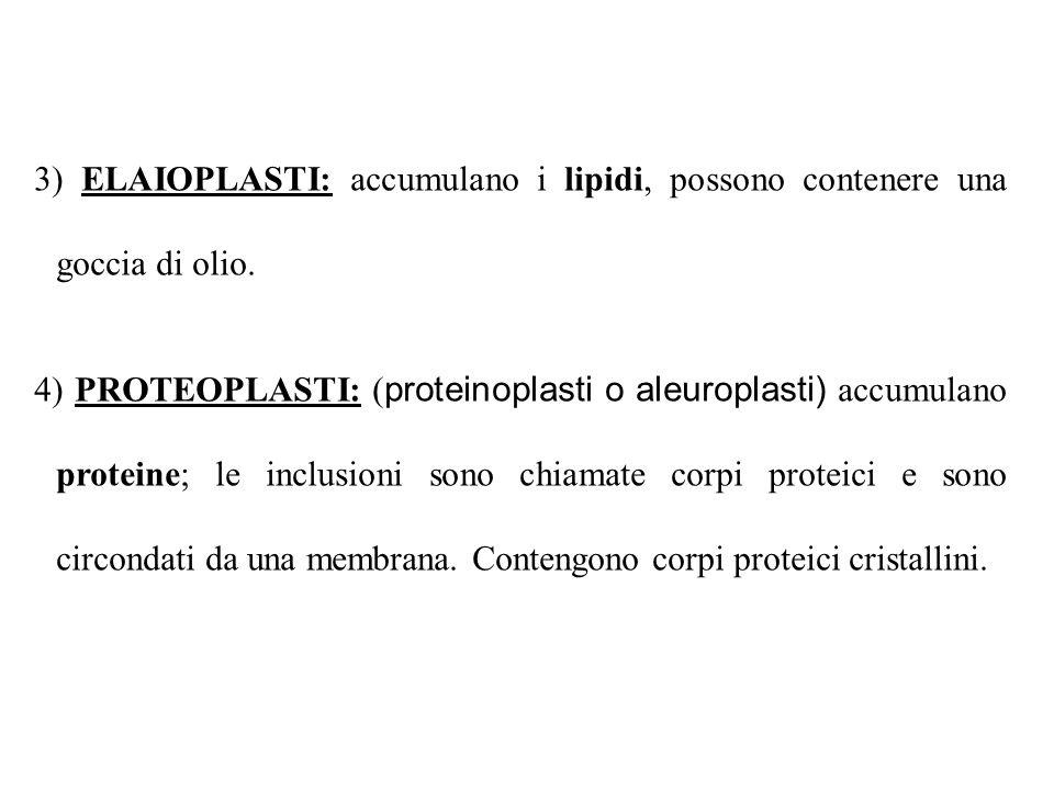 3) ELAIOPLASTI: accumulano i lipidi, possono contenere una goccia di olio.