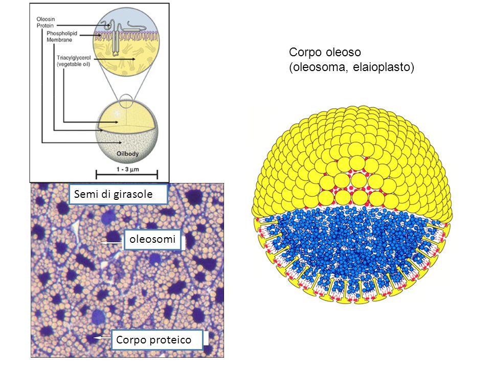 Corpo oleoso (oleosoma, elaioplasto) Semi di girasole oleosomi Corpo proteico