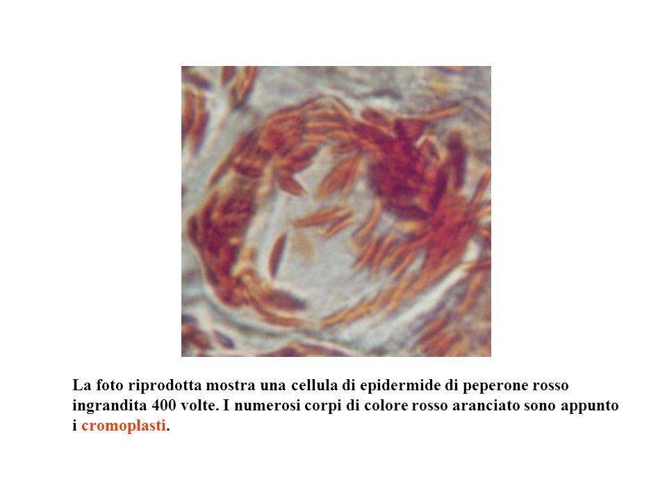 La foto riprodotta mostra una cellula di epidermide di peperone rosso ingrandita 400 volte.