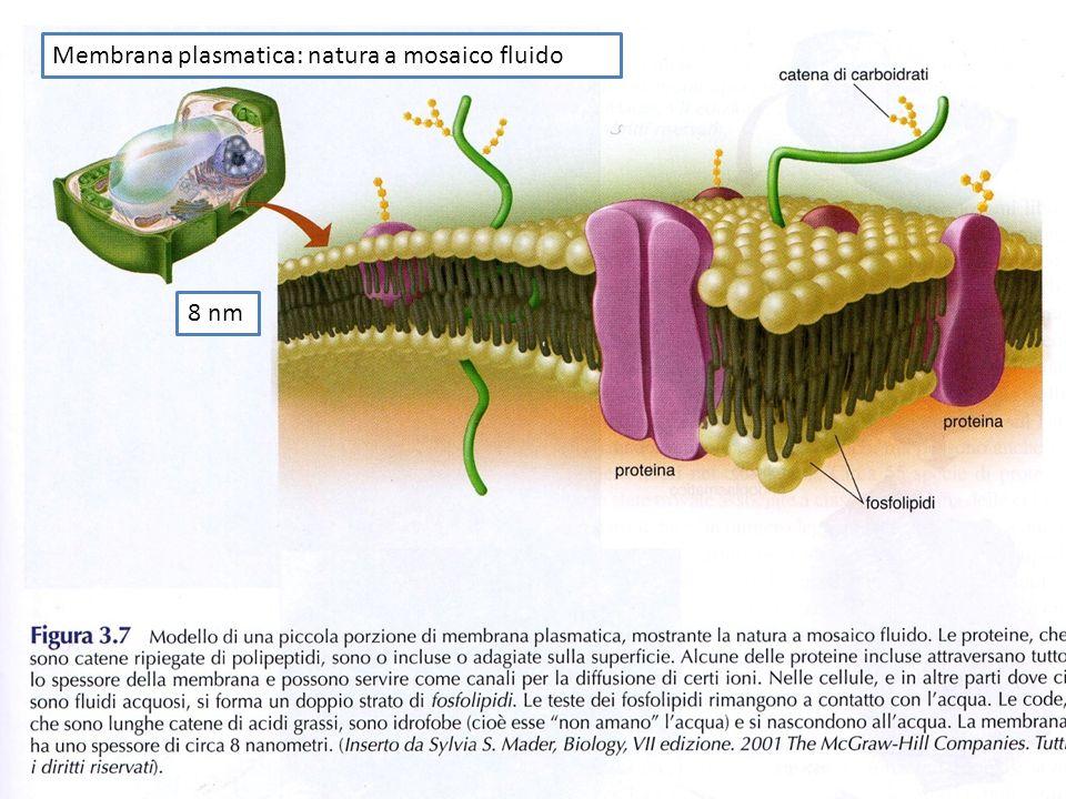 Membrana plasmatica: natura a mosaico fluido