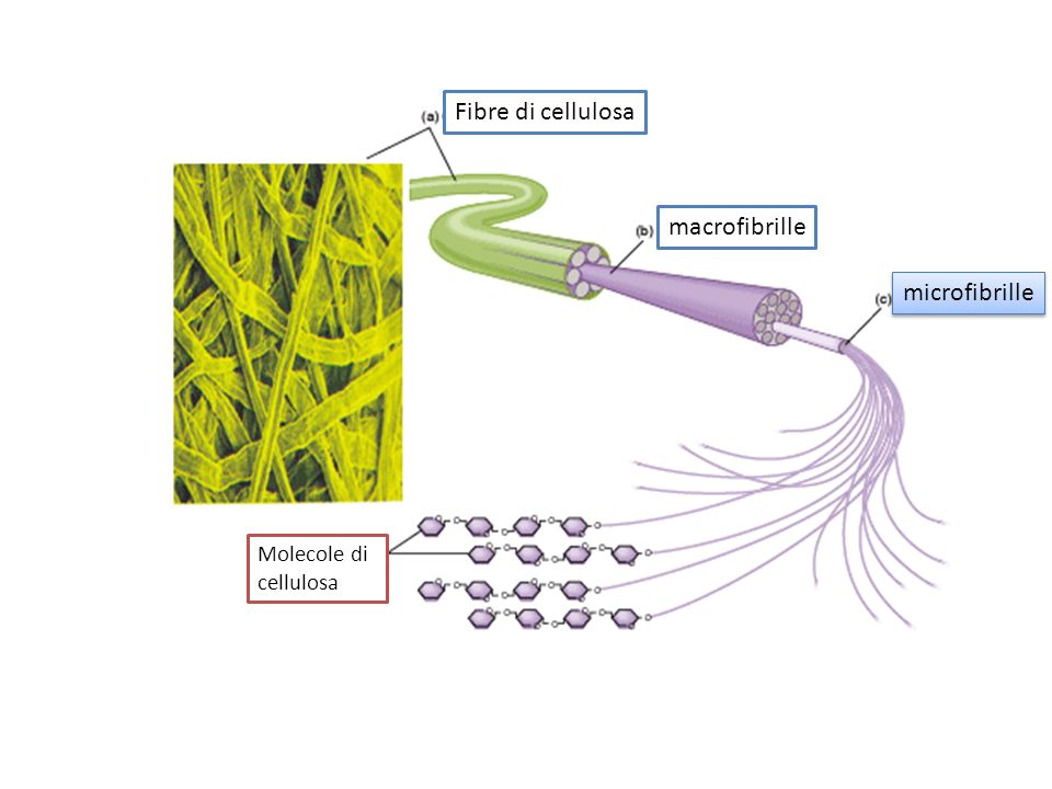 Fibre di cellulosa macrofibrille microfibrille Molecole di cellulosa