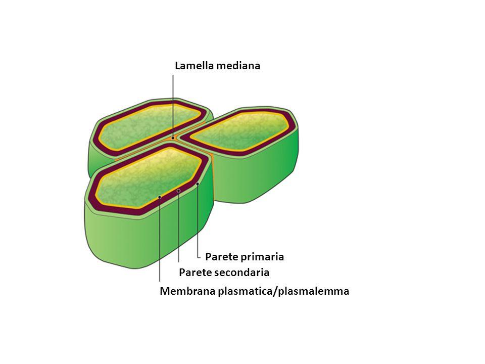 Lamella mediana Parete primaria Parete secondaria Membrana plasmatica/plasmalemma