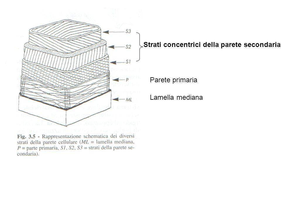 Strati concentrici della parete secondaria