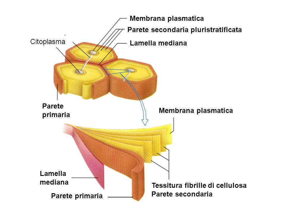 Membrana plasmatica Parete secondaria pluristratificata. Citoplasma. Lamella mediana. Parete. primaria.