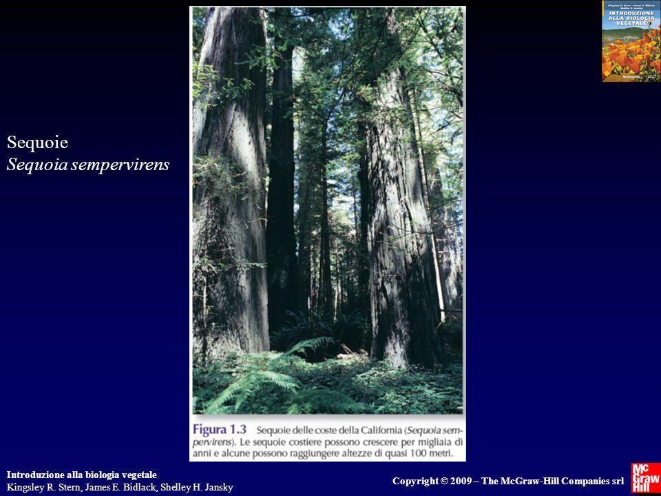 Sequoie Sequoia sempervirens