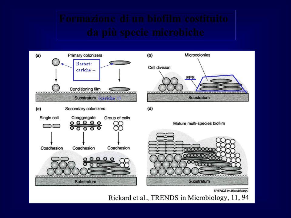 Formazione di un biofilm costituito da più specie microbiche
