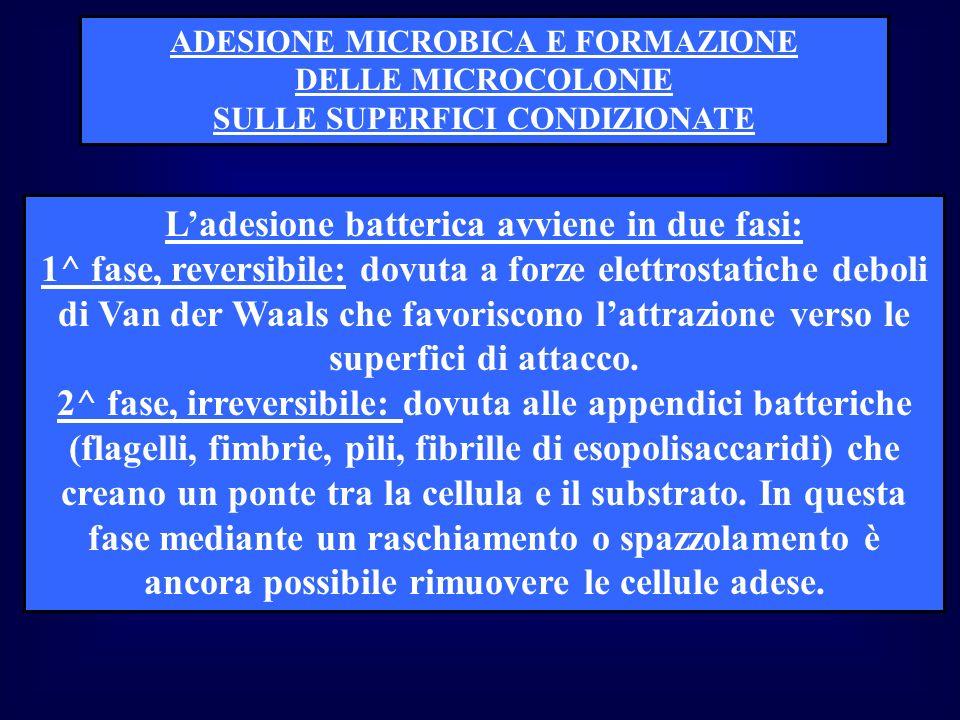 L'adesione batterica avviene in due fasi: