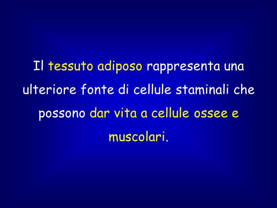 Il tessuto adiposo rappresenta una ulteriore fonte di cellule staminali che possono dar vita a cellule ossee e muscolari.