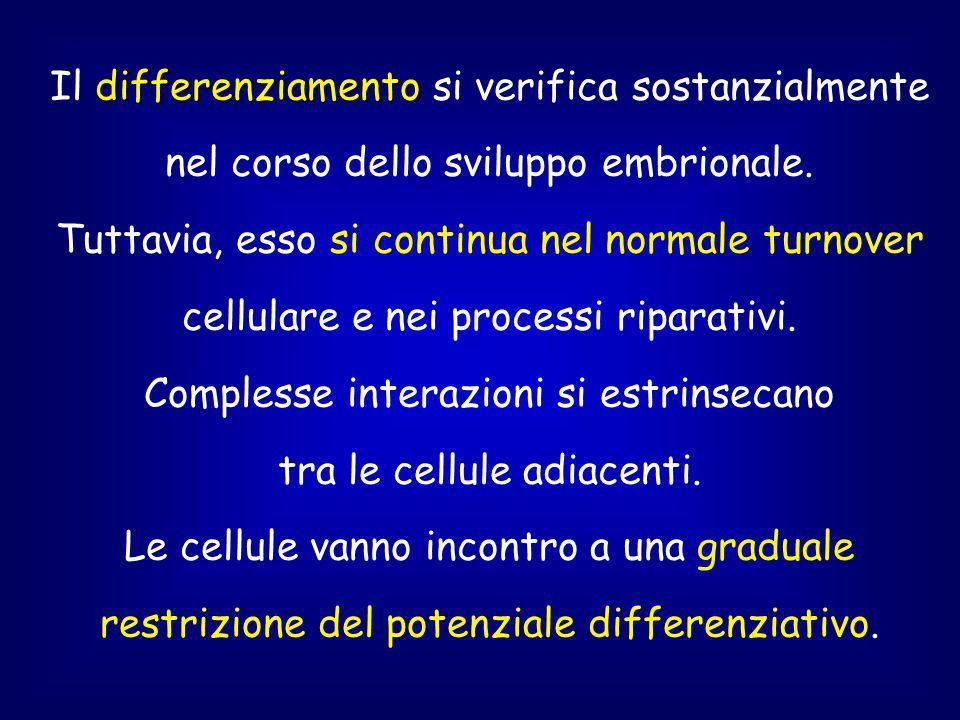 Il differenziamento si verifica sostanzialmente nel corso dello sviluppo embrionale.