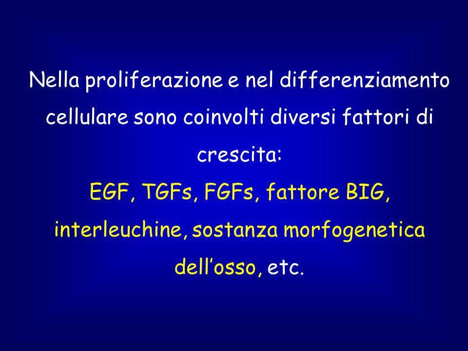 Nella proliferazione e nel differenziamento cellulare sono coinvolti diversi fattori di crescita: EGF, TGFs, FGFs, fattore BIG, interleuchine, sostanza morfogenetica dell'osso, etc.
