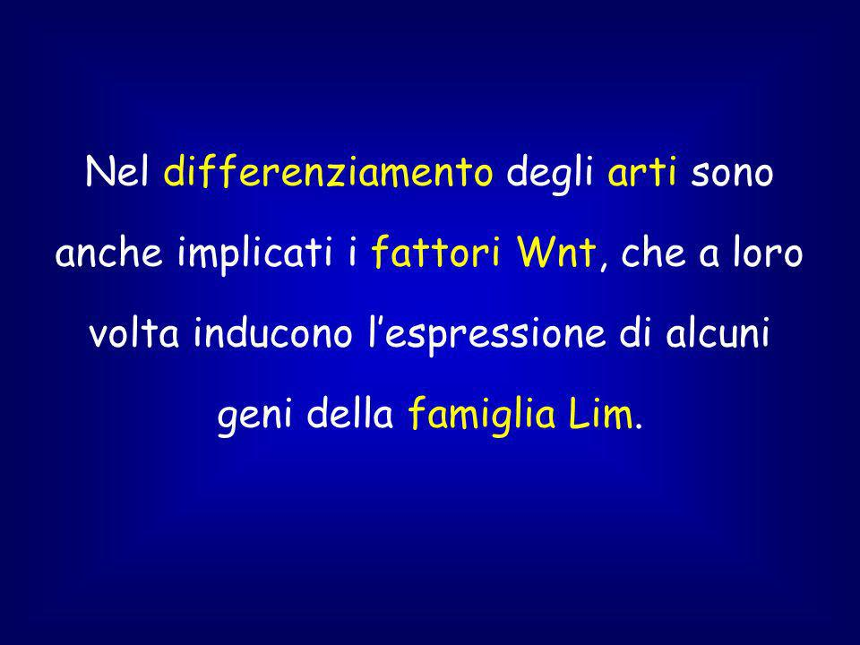 Nel differenziamento degli arti sono anche implicati i fattori Wnt, che a loro volta inducono l'espressione di alcuni geni della famiglia Lim.