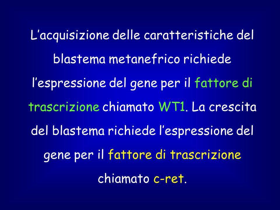L'acquisizione delle caratteristiche del blastema metanefrico richiede l'espressione del gene per il fattore di trascrizione chiamato WT1.