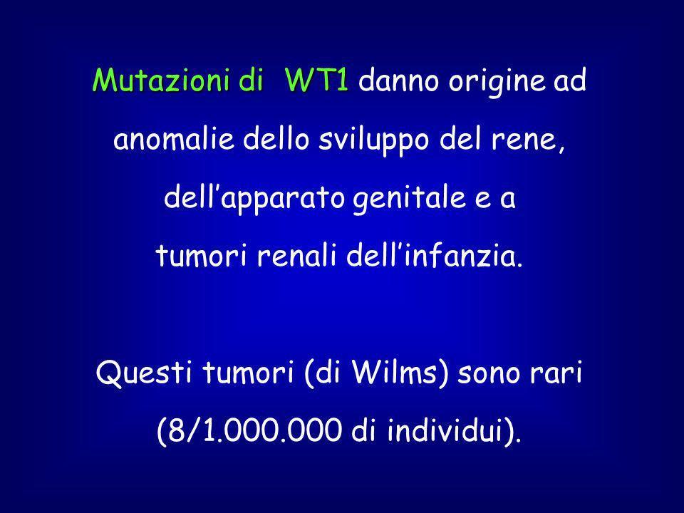 Mutazioni di WT1 danno origine ad anomalie dello sviluppo del rene, dell'apparato genitale e a tumori renali dell'infanzia.