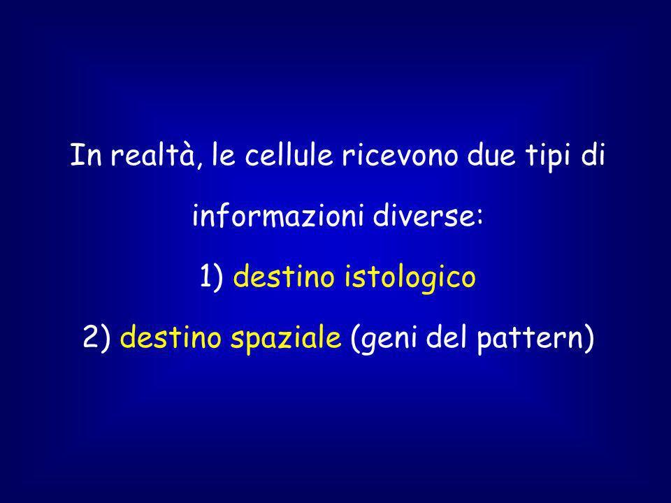 In realtà, le cellule ricevono due tipi di informazioni diverse: 1) destino istologico 2) destino spaziale (geni del pattern)