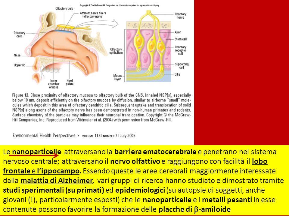 Le nanoparticelle attraversano la barriera ematocerebrale e penetrano nel sistema nervoso centrale; attraversano il nervo olfattivo e raggiungono con facilità il lobo frontale e l'ippocampo.